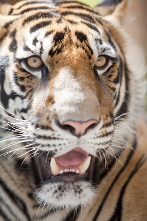 close up of a tiger photo