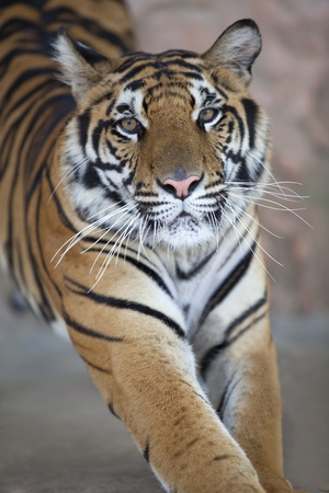 close up of a young tiger photo