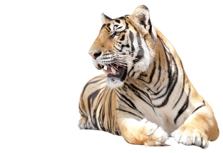 tigre blanc: Tiger s'asseoir avec isolé sur fond blanc Banque d'images