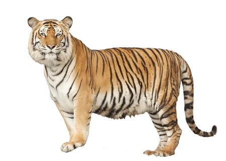 Portrait of a Royal Bengal tiger with isolated white background.