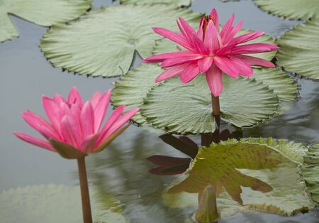 Pink lotus in pool, lotus is logo of spa and buddhism in asia. photo