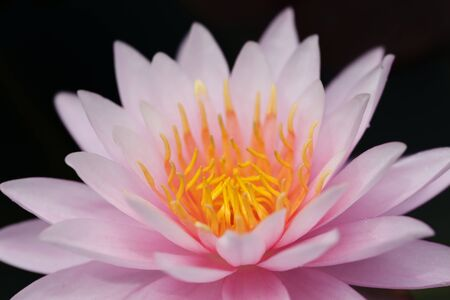 Pink lotus with black isolated background, lotus is logo of spa and buddhism in asia  photo