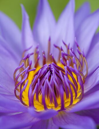 Closeup blue lotus, lotus is logo for spa and buddhism in asia  photo