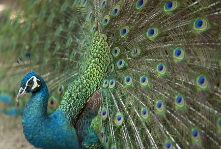 Detail of beautiful green peacock with feathers. Stock Photo - 13717675