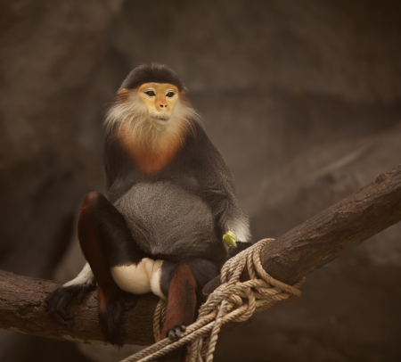 Portrait of Big yellow monkey stand on the rock  photo
