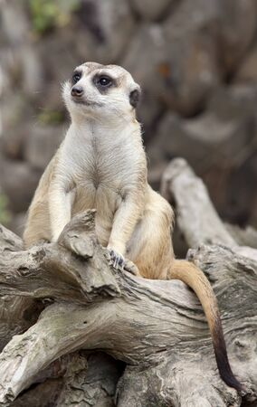 eyes cave: Portrait of meerkat sit on tree with green nature background.