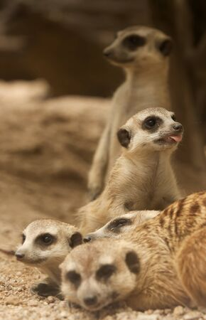 mongoose: Portrait group of meerkat sit on sand floor. Stock Photo