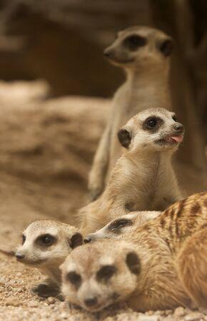 eyes cave: Portrait group of meerkat sit on sand floor. Stock Photo