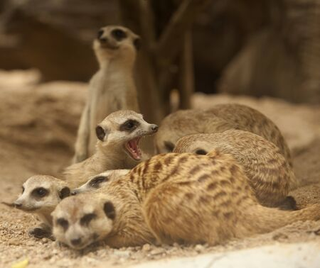 eyes cave: Portrait group of meerkat sit on rock stand with green nature background.