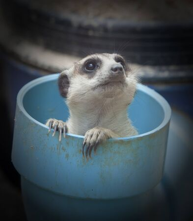 mongoose: Portrait of meerkat sit in plastic pipe.