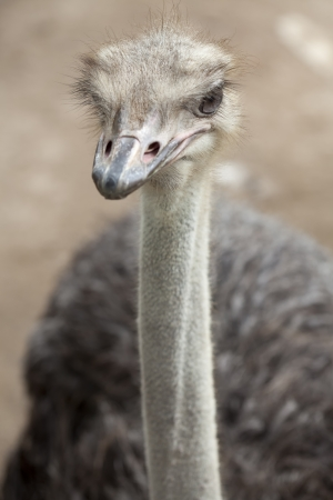 ugandan: Portrait of Ostrich standing on Masai Mara, KENYA