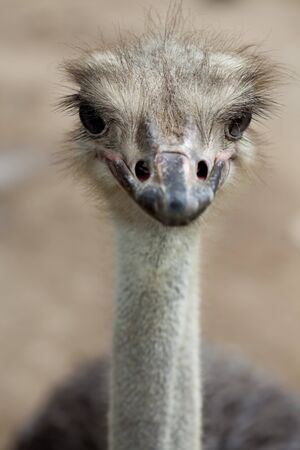 Portrait of Ostrich standing on Masai Mara, closeup by macro lens in KENYA.