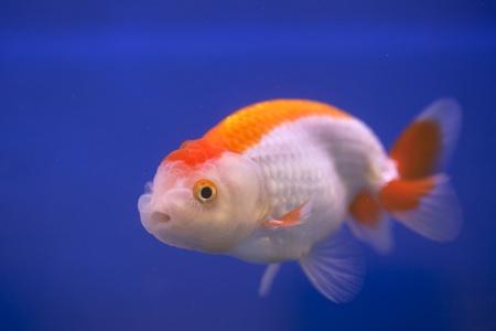 golden fish swim on blue isolated background photo