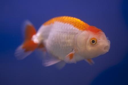 golden fish swim on blue isolated background Stock Photo - 14398474