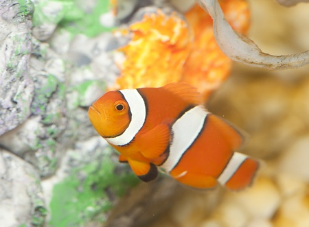 ocellaris: a clown anemonefish swimming in the tentacles of its sea anemone