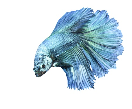 dragon fish: betta, siamese fighting fish isolated on white background Stock Photo
