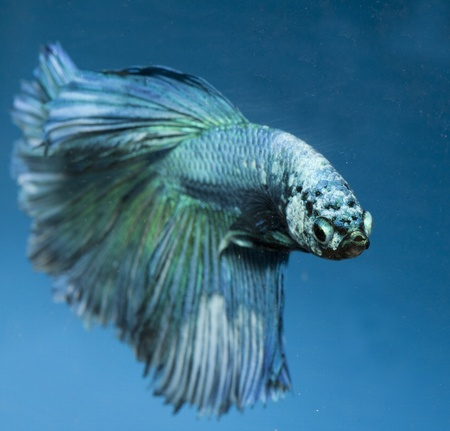 betta, siamese fighting fish isolated on blue background photo