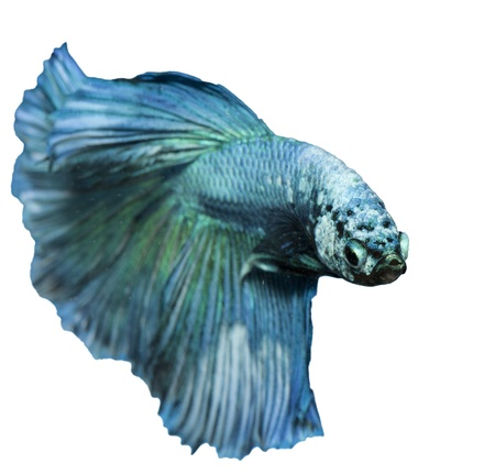 fire fin fighting: betta, siamese fighting fish isolated on white background Stock Photo