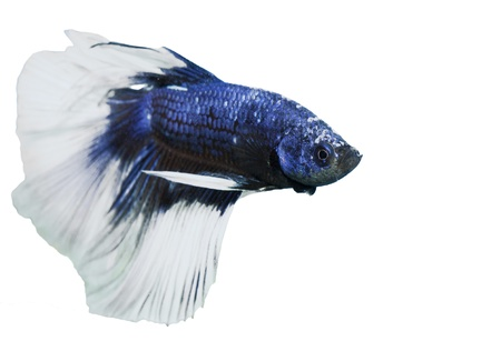 betta, siamese fighting fish isolated on white background photo