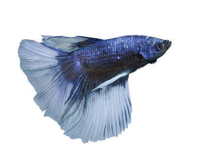 betta: betta, siamese fighting fish isolated on white background