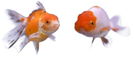 golden fish swim on white isolated background  photo
