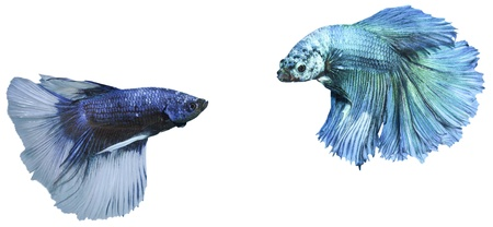 betta, siamese fighting fish isolated on white background Stock Photo - 14457972