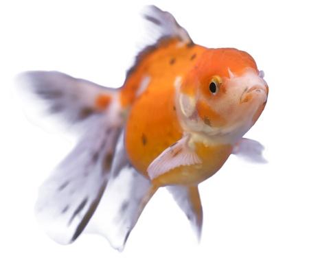 golden fish swim on white isolated background Stock Photo - 14457966
