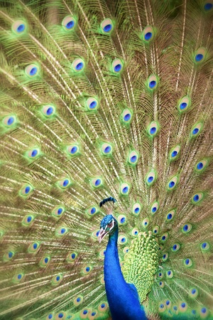 Portrait and close up of peacock showing its beautiful feathers photo