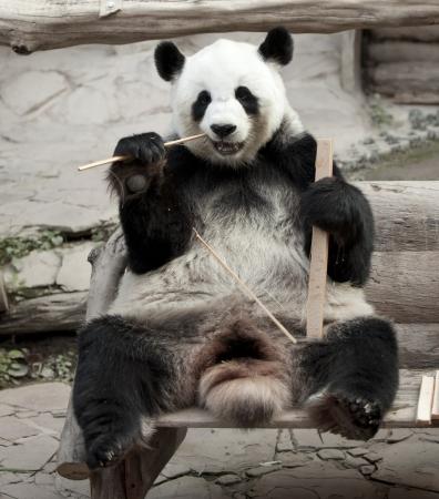 Hungry giant panda bear eating bamboo photo