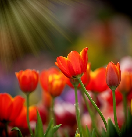 asian tulips: Colorful tulips with morning light
