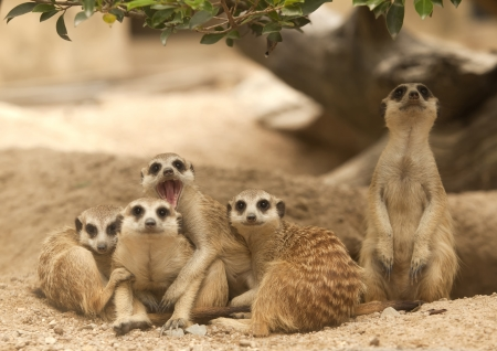 adapted: Portrait group of meerkat sit on sand with nature frame Stock Photo