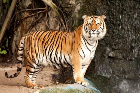 panthera: Ritratto di un tigre reale del Bengala vigile e fissando la telecamera Archivio Fotografico