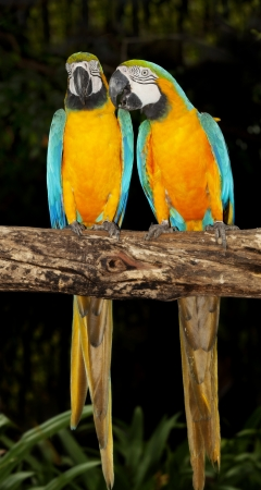 Couple of macaw parrots on dark background photo