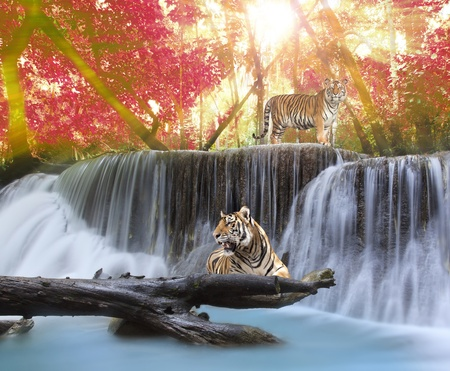 background waterfalls: Tiger in the jungle