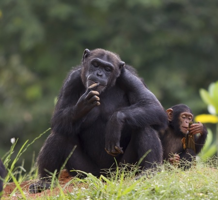 The cub of a chimpanzee sitting and relax in the nature  photo