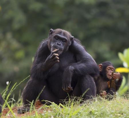 chimpansee: De welp van een chimpansee zit-en ontspannen in de natuur.