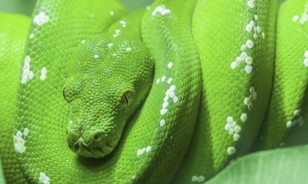 coiled: Resting wild green snake on a branch with green leaves