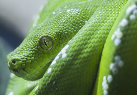 Green python snake, close up to the eye  photo