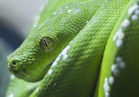 serpiente de cascabel: Verde serpiente pitón, de cerca al ojo