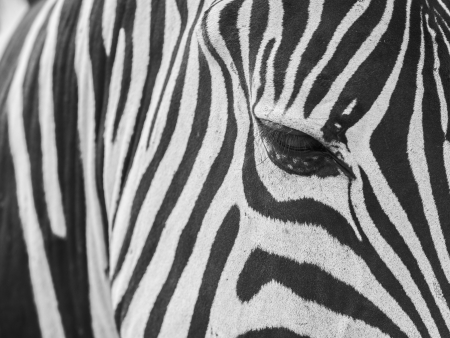 burchell: Zebra skin texture and close-up to the eye. Stock Photo