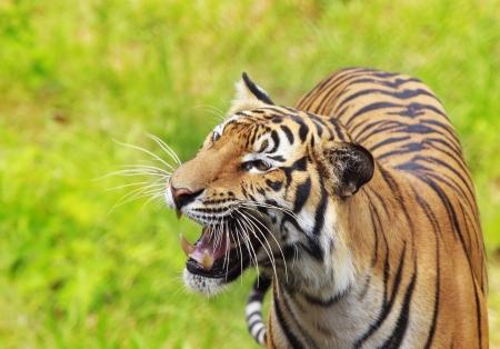 panthera tigris: Portrait of a Royal Bengal tiger alert  Stock Photo