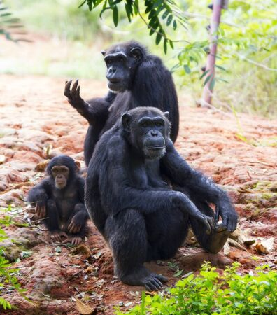 The family of a chimpanzee sitting and relax in the nature.  photo