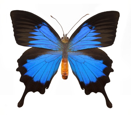 colorful butterfly: Blue butterfly with clipping part and isolated background. Stock Photo