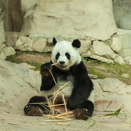 panda bear: Giant panda bear eating bamboo shoots