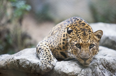 Leopard  Tiger  deep sleep on the rock   Stock Photo - 16597955