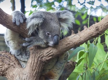 koala bear: Curious koala on the tree