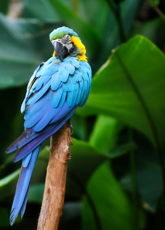 exotic pet: Macaw on the nature background