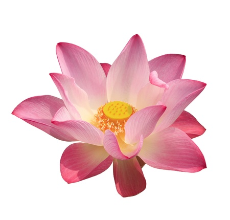 Lotus flower on isolated background with clipping part for easy to use. photo