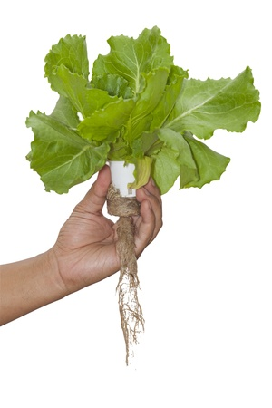 Hydroponic plant on hand with isolated background and work part for easy to use.