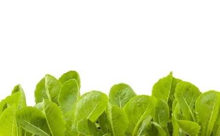 hydroponic: Hydroponic plant with white isolated background and work part. Stock Photo